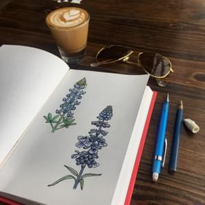 Bluebonnet and Purple Sage Study, prismacolor and ink