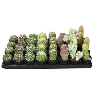 Cactus and Succulents 2021