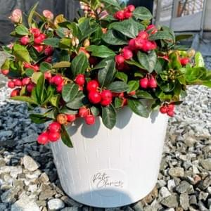 2G Gaultheria procumbens with White Deco Reservoir Pot
