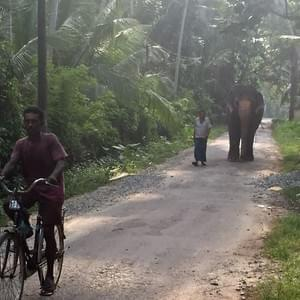 srilankareisen.lk elephant walking