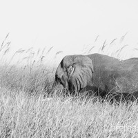 haelio photo – Elephant in the reeds Okavango Delta