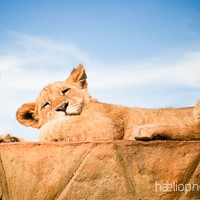 haelio photo – A lion cub rests in South Africa