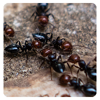 berrett fire ant control houston texas