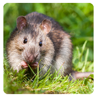 Stop Rodents in DFW