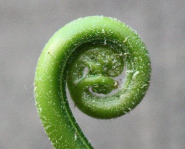 The unfurling fern leaf known as the symbol of new life and new beginnings
