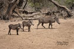 Warthog Family - SOUTH AFRICA