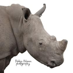 Rhino on white - SOUTH AFRICA