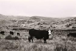 Cow in fog near Drake's Estero, Pt. Reyes California
