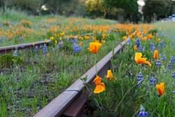 Poppies and tracks near Geyserville, Ca