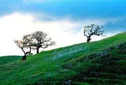 Oaks on hill after storm, Petaluma, CA