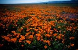 Poppies at Antelope Valley Poppy Preserve, Los Angeles Co.