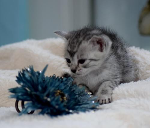 Silver Egyptian Mau Kitten Deposit