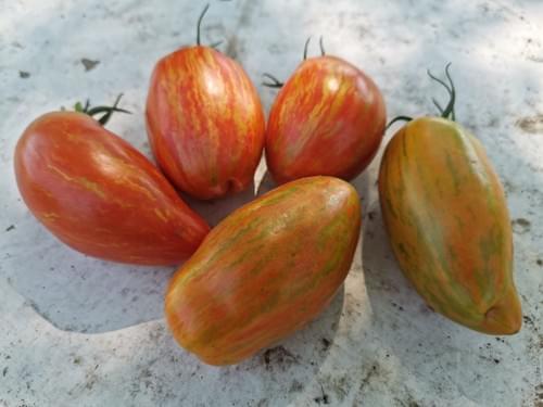 """Tomate """"Roma rayée"""""""