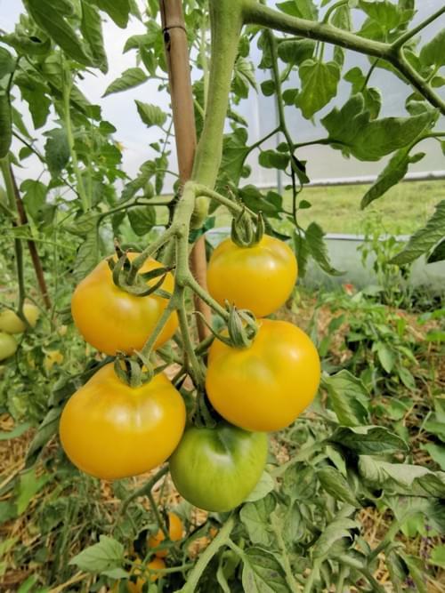 "Tomate ""pêche jaune"""