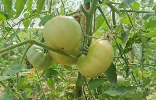 "Tomate ""Jack White"""