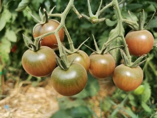 """Tomate """"cerise noire"""""""