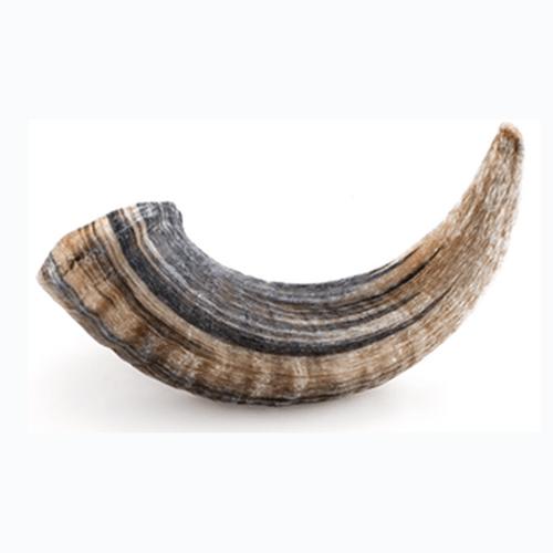 Icelandic Lamb Horn Large