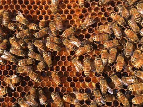 Live Bees, 5-Frame Nucleus Colony