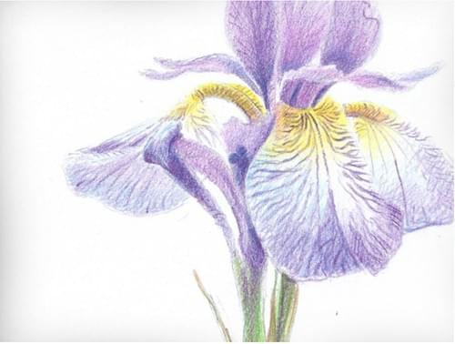 Inspiring Iris Botanical Illustration (Full Guidebook)