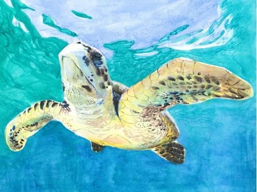 Hawksbill Sea Turtle in Crystal Clear Water (Full Guidebook)