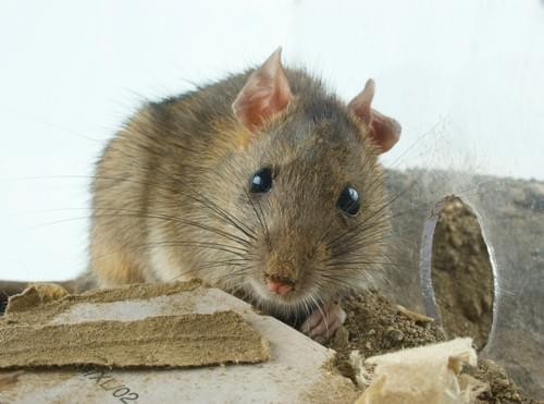 Raticide TOXA Overdose Pate contre rats et souris (boîte de 150g)