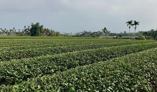 Eco-Farmed Gardenia Oolong Tea