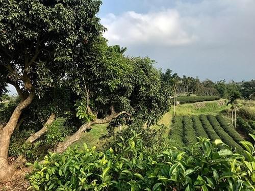 一口茶重焙煎エコ農法烏龍茶(ウーロン茶)