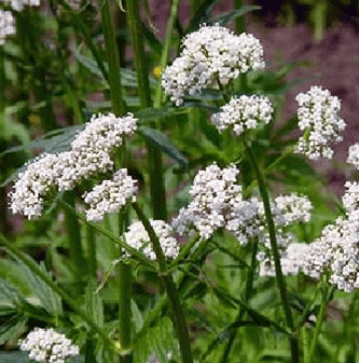 Plant These Herbs for Self - Sufficiency this Year  Demo/Class Oct. 10th