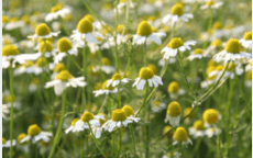 A Beginner's Guide to Homegrown Herbal Medicine Demo/Class  June 5th