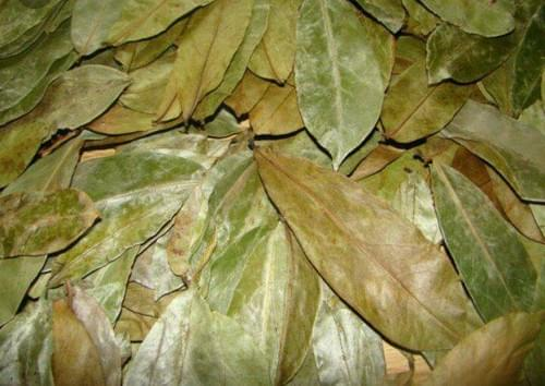 Soursop Leaves (The Cancer Fighter)