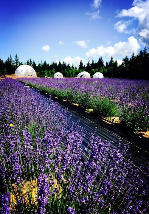 温哥华岛农场产有机薰衣草精油皂 113g