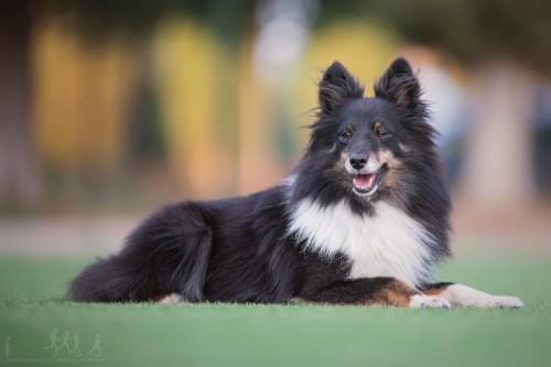 犬漸進性視網膜萎縮PRA雙基因活動包~~6犬種適用