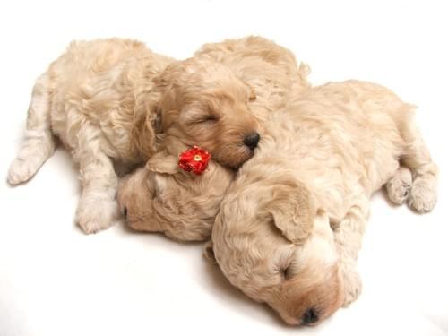 PRA活動包優惠五包裝~~39犬種適用