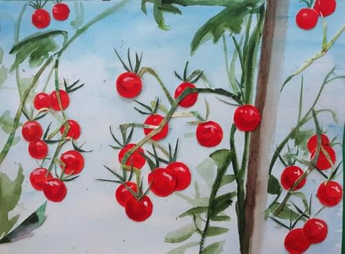 Matt's Wild Cherry Tomato - NEW FOR 2021