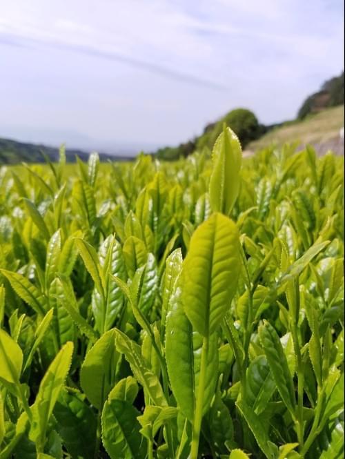 「茶の心咲」2020年初摘み茶 静岡直送 やぶきた茶