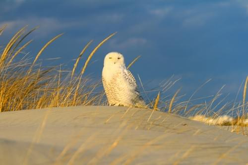 Stone Harbor Snow Owl