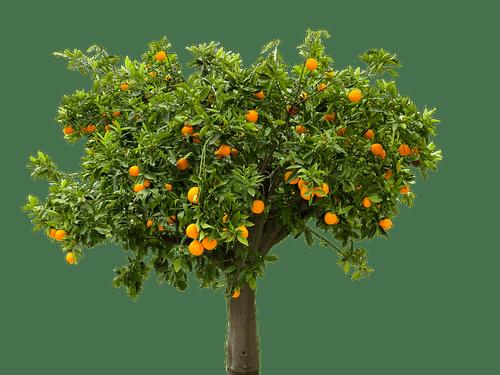Plant Orange Tree