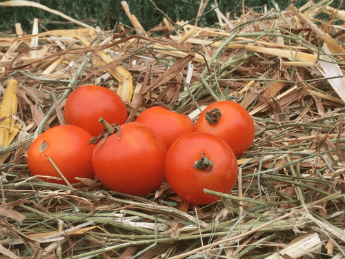 "Sachet de graines de tomate  ""Ida Gold"""