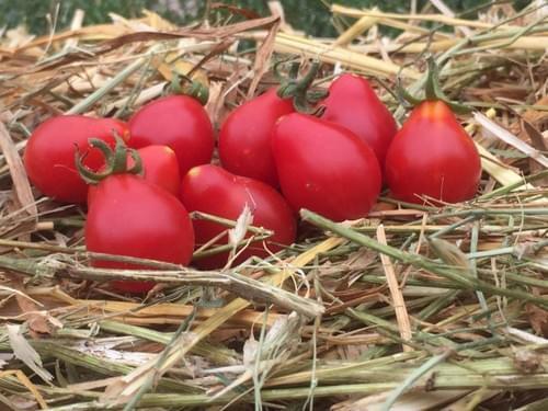 """Sachet de graines de tomates """"Poire rouge"""""""