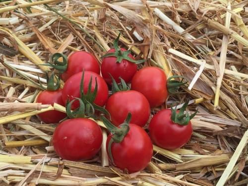 """Sachet de graines de tomate """"Miel du Mexique"""""""