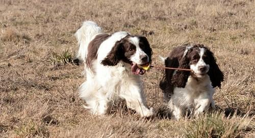 Réservez votre chien Springer Anglais