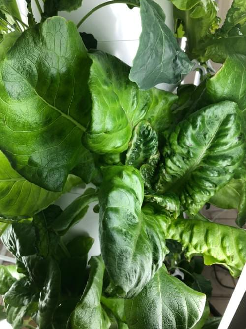 Buttercrunch Lettuce (Limited Supply)