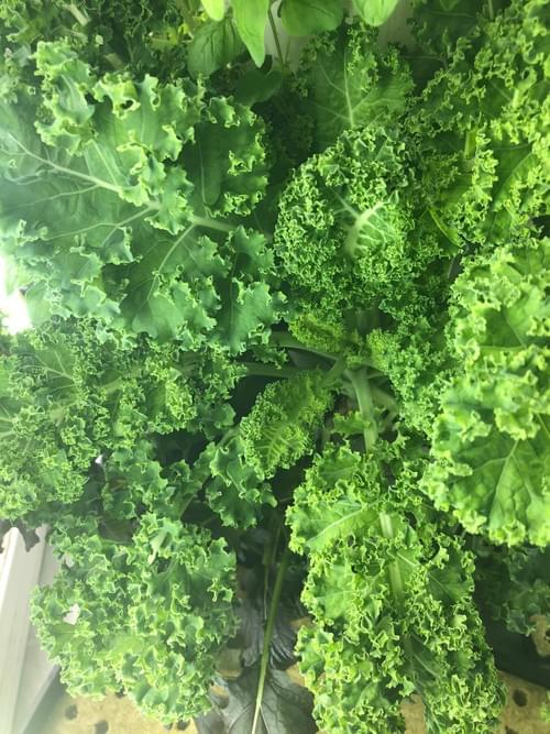 Kale (Limited Supply)