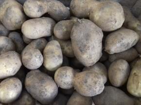 Pomme de terre Agria BIO (chair tendre) - 2 kg - Ferme de Châtenoy (77)