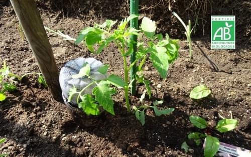 Jeune plant de tomates cerises BIO - 1 plant - Les Limons de Toulotte