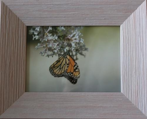 Monarch Hanging, 5x7, in pink and grey frame