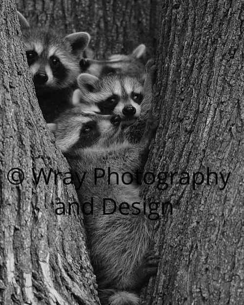 Raccoon Family, Canvas