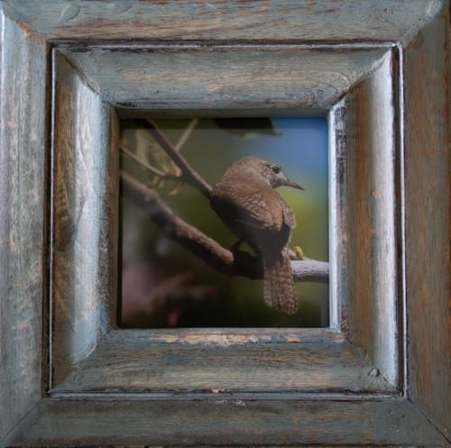 House Wren, 4x4, in distressed blue frame