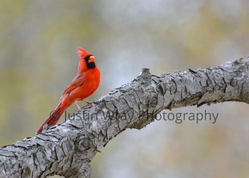 Cardinal on Branch, Canvas