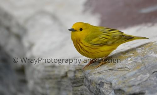 Yellow Warbler, Notecard